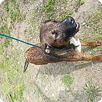 Adopt A Pet :: legend - Shelton, WA