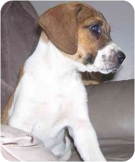 Jack Russell Terrier/Beagle Mix Puppy for adoption in Chandler, Indiana - Taysia - Adorable