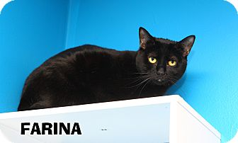Domestic Shorthair Cat for adoption in Oakland, New Jersey - Farina
