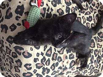 Domestic Shorthair Cat for adoption in Scottsdale, Arizona - Zena