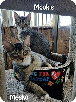 Abyssinian Kitten for adoption in Redwood City, California - Mookie and Meeko
