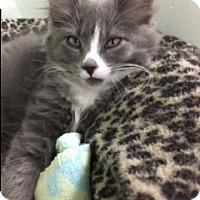 Adopt A Pet :: Kluber - Medina, OH