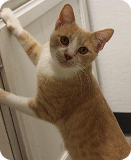 Domestic Shorthair Cat for adoption in Houston, Texas - PJ