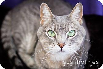Domestic Shorthair Cat for adoption in Colorado Springs, Colorado - Raven