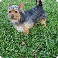 Yorkie, Yorkshire Terrier Mix Dog for adoption in Hagerstown, Maryland - Billy Madison
