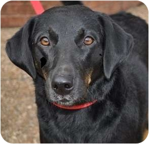 Black and Tan Coonhound/Labrador Retriever Mix Dog for adoption in Atlanta, Georgia - Allie