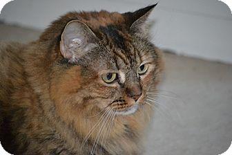 Maine Coon Cat for adoption in Laguna Woods, California - ninja