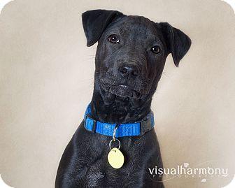 Labrador Retriever/Shar Pei Mix Puppy for adoption in Phoenix, Arizona - Orion