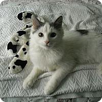 Adopt A Pet :: Adam - Arlington, VA