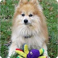 Adopt A Pet :: Simba - Mocksville, NC