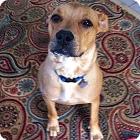 Adopt A Pet :: Bella Blue - Knoxville, TN