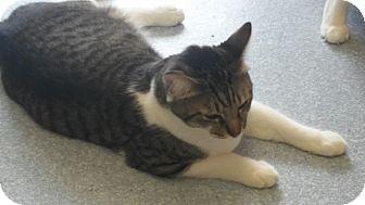 Domestic Shorthair Cat for adoption in El Cajon, California - C.C.
