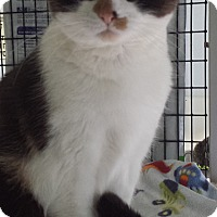 Domestic Shorthair Cat for adoption in Diamond Springs, California - Momo