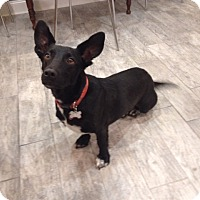 Corgi/Labrador Retriever Mix Dog for adoption in Morristown, New Jersey - Skipper