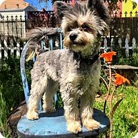 Adopt A Pet :: PopTart - San Francisco, CA