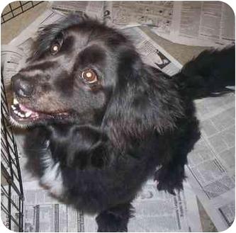 English Springer Spaniel Mix Dog for adoption in Richmond, Virginia - Rommie