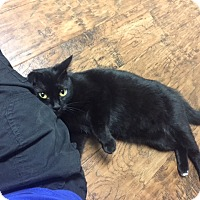 Domestic Shorthair Cat for adoption in Dublin, California - Mercy