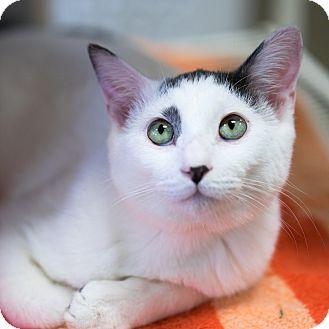 Domestic Shorthair Kitten for adoption in Montclair, California - Zeus
