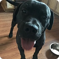 Adopt A Pet :: Hercules - Fort Collins, CO