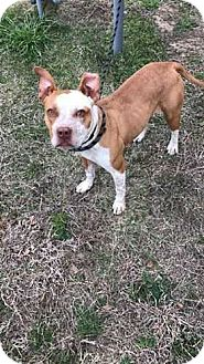 Staffordshire Bull Terrier/Australian Cattle Dog Mix Dog for adoption in McCurtain, Oklahoma - Tessa