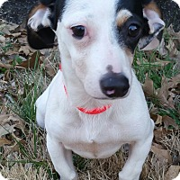 Adopt A Pet :: Tallulah - Bridgeton, MO