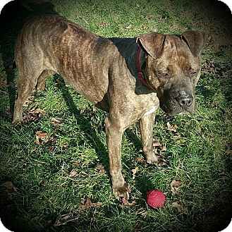 Mastiff/Pit Bull Terrier Mix Dog for adoption in Sharon Center, Ohio - Reece
