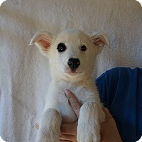 Adopt A Pet :: Abra - Oviedo, FL