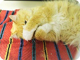 Domestic Longhair Cat for adoption in Tempe, Arizona - Teddy Bear