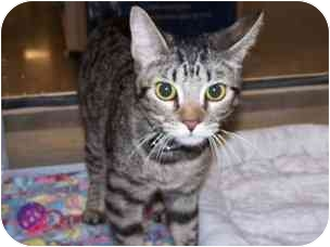 Domestic Shorthair Cat for adoption in Diamond Bar, California - SCOUT