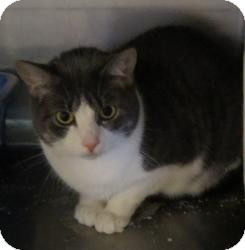 Domestic Shorthair Cat for adoption in Geneseo, Illinois - Madlyn
