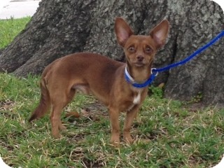 Chihuahua Mix Dog for adoption in Houston, Texas - Timmy