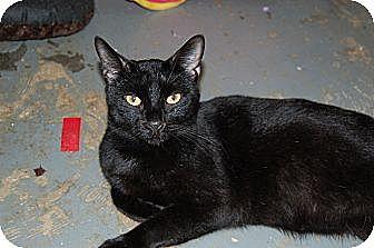 American Shorthair Cat for adoption in Jackson, Mississippi - Marvin Gaye