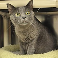 Domestic Shorthair Cat for adoption in Pompano Beach, Florida - Nina