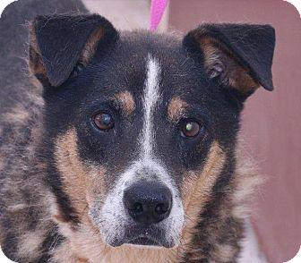 Sheltie, Shetland Sheepdog Mix Dog for adoption in McDonough, Georgia - G-Chive