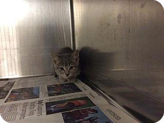 Domestic Shorthair Kitten for adoption in Janesville, Wisconsin - Carbonara