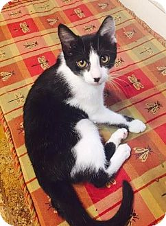 Domestic Shorthair Cat for adoption in Ocala, Florida - Po
