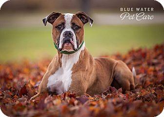 Boxer/American Bulldog Mix Dog for adoption in China, Michigan - Zeus