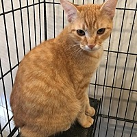 Domestic Shorthair Cat for adoption in Hammond, Louisiana - Roux