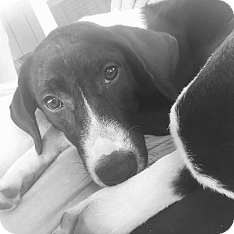 Border Collie Mix Puppy for adoption in Spring, Texas - Molly
