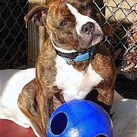 Adopt A Pet :: Bucky - Carmel, NY