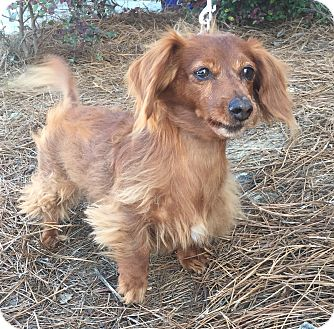 Dachshund Dog for adoption in Mount Pleasant, South Carolina - Mia