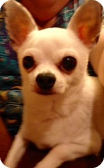 Chihuahua Dog for adoption in Seattle, Washington - Chico