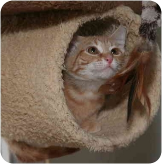 Domestic Shorthair Kitten for adoption in Cincinnati, Ohio - Romeo