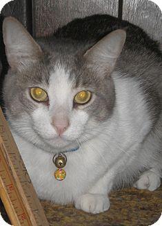 Domestic Shorthair Cat for adoption in Laguna Woods, California - Baxter