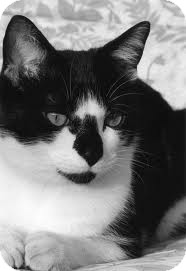 Domestic Shorthair Cat for adoption in Lancaster, Massachusetts - Taylor