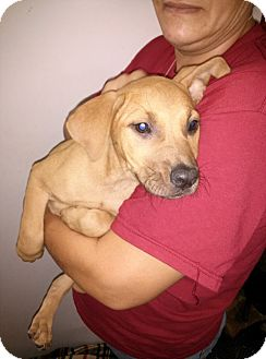 Labrador Retriever Mix Puppy for adoption in South Jersey, New Jersey - Eve