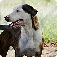 Catahoula Leopard Dog Mix Dog for adoption in Justin, Texas - Dillon
