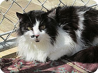 Domestic Longhair Cat for adoption in Plattekill, New York - Macooch