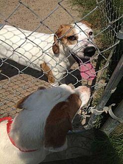 Hound (Unknown Type) Mix Dog for adoption in Summerville, South Carolina - Sugar