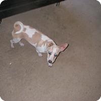 Adopt A Pet :: Pinkie - Buchanan Dam, TX